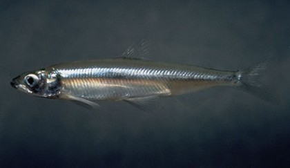 Draconian Efforts To Protect Delta Smelt Have Failed